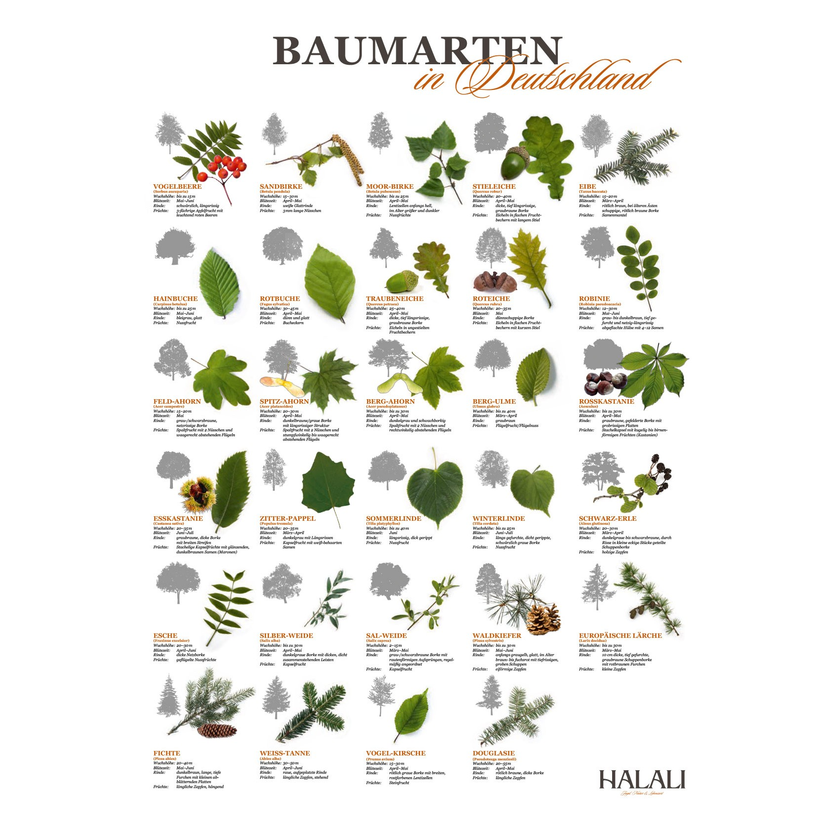 das halali poster baumarten in deutschland poster. Black Bedroom Furniture Sets. Home Design Ideas